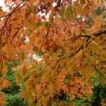 Avatar autumn maple leaves