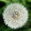 avatar dandilion head
